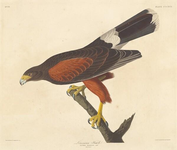Louisiana Hawk