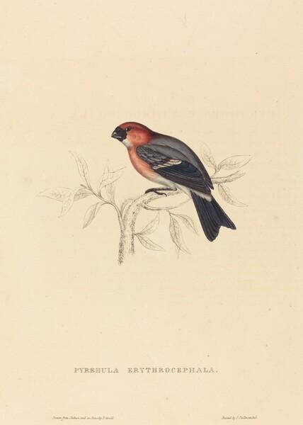 Pyrrhula Erythrocephala (Redheaded Bullfinch)