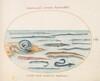Plate 16: Eels, Pipefish, and Needlefish