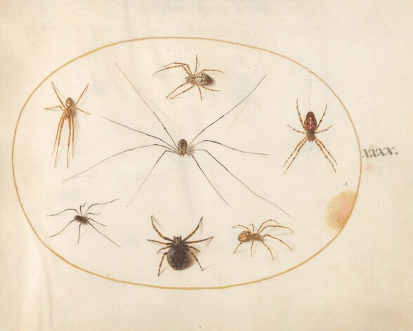 Plate 40: Eight Spiders