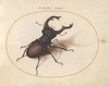 Plate 5: Stag Beetle