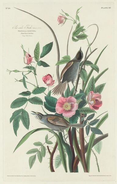 Sea-side Finch