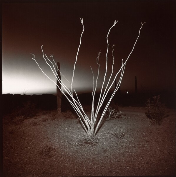 Ocotillo at Night