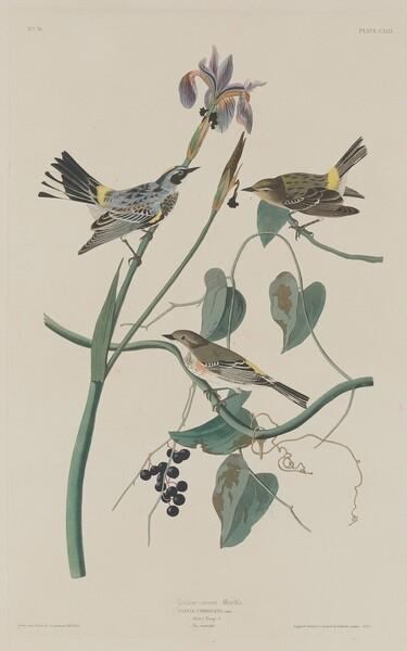 Yellow-crown Warbler