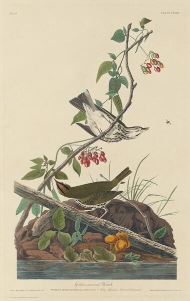 Golden-Crowned Thrush