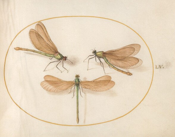 Plate 55: Three Green Dragonflies with Brown Wings