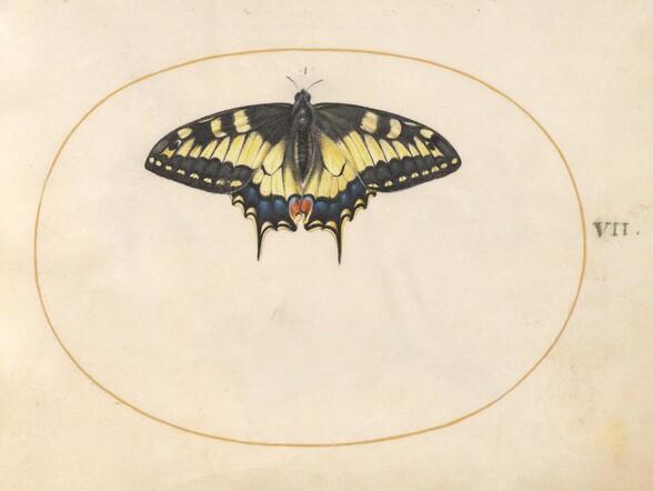 Plate 7: Swallowtail Butterfly