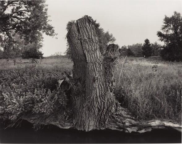 Cottonwood Stump Along Ditch No. 3, Cache la Poudre River Near Greeley, Colorado