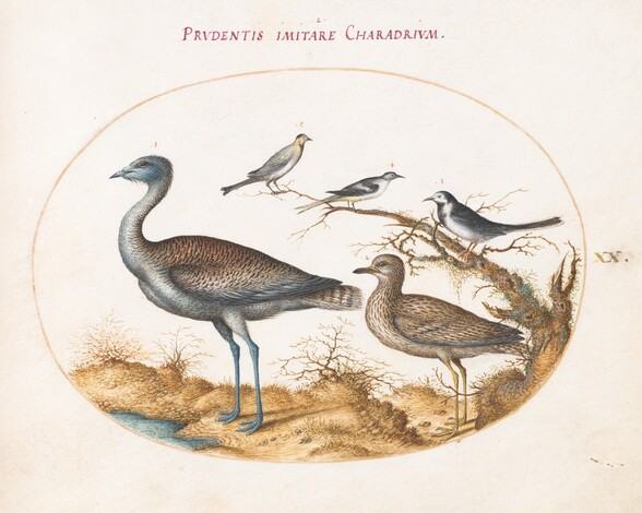 Plate 20: A Plover with Four Other Birds