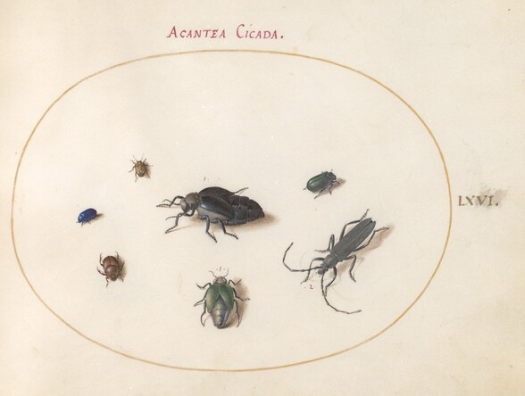Plate 66: Two Oil Beetles, a Longhorn Beetle, and Four Other Insects