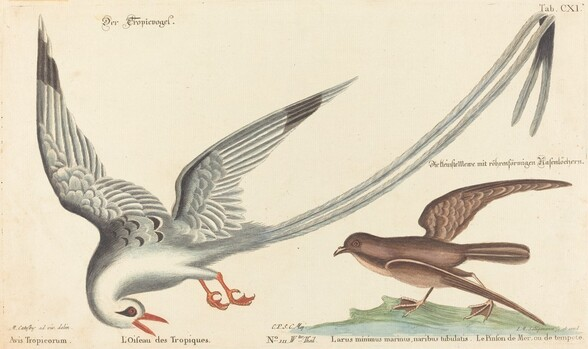The Tropic Bird (Phaeton aethereus)