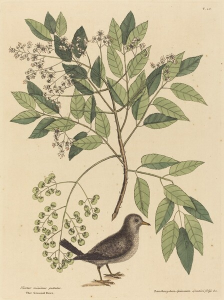 The Ground Dove (Columba passerina)
