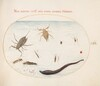 Plate 56: Water Scorpion, Water Measurer, Pond Skater, Red Water Mite, Leech(?), and Other Water Insects