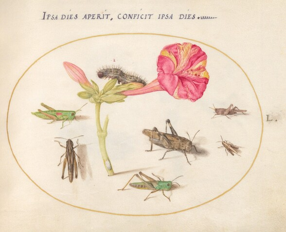 Plate 50: Grasshoppers, a Caterpillar, and a Scale Insect with a Four O