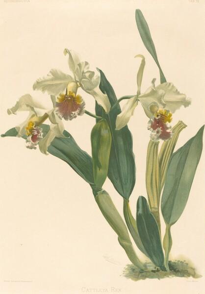 Cattleya Rex