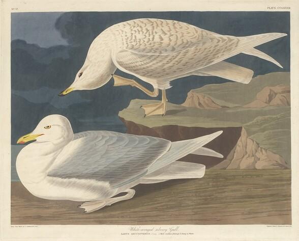 White-winged Silvery Gull