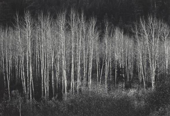 Aspens, Dawn, Dolores River Canyon, Autumn, Colorado