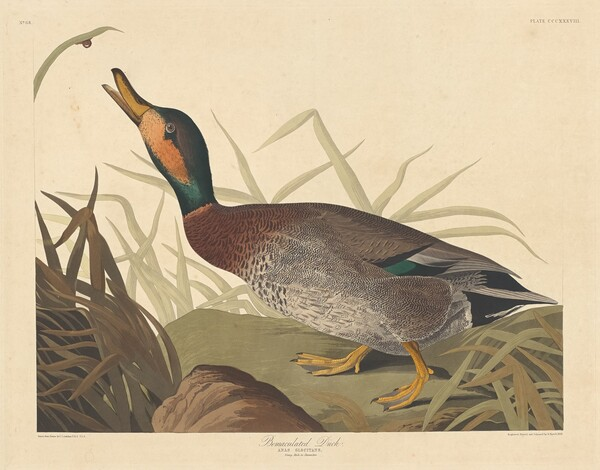 Bemaculated Duck