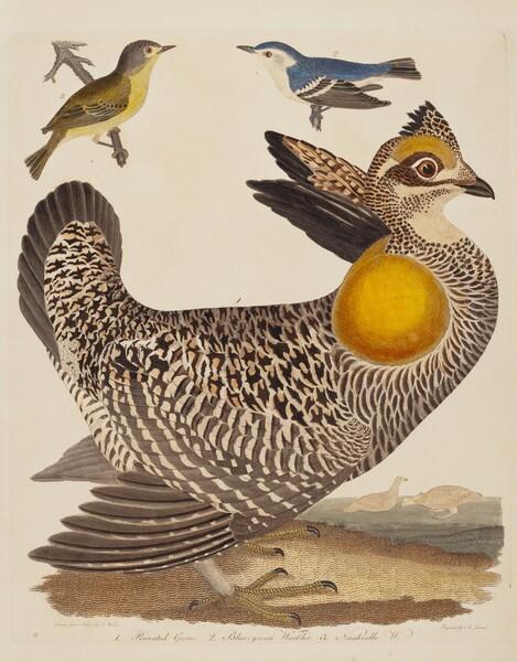 Pinnated Grous, Blue-green Warbler, and Nashville Warbler