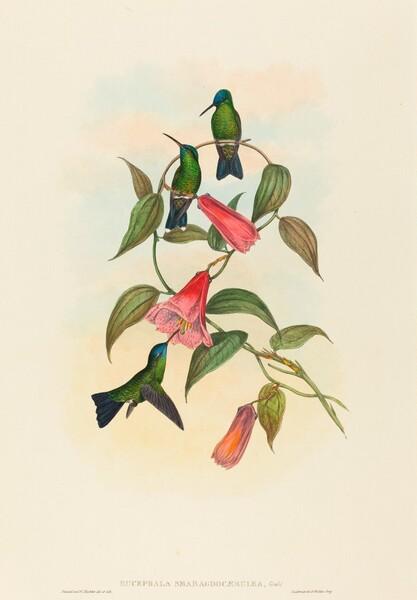Eucephala smaragdocaerulea (Gould