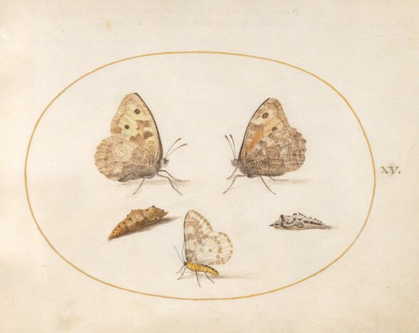 Plate 15: Grayling Butterfly, Magpie Moth, and Two Chrysalides