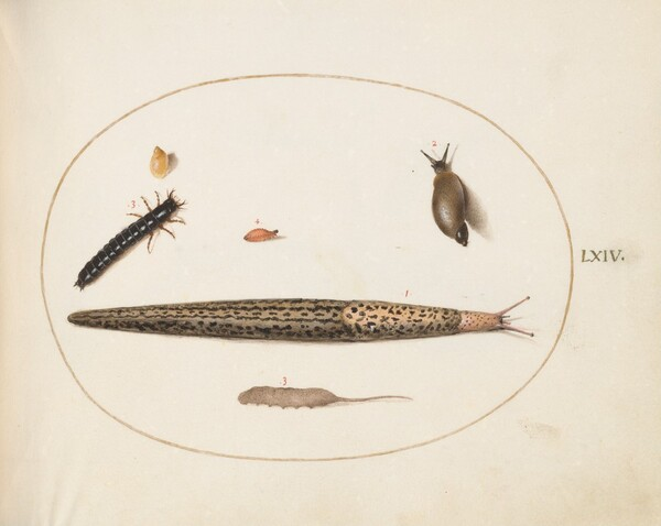 Plate 64: Leopard Slug, Ground Beetle Larva, a Rat-tailed Maggot, and Other Creatures