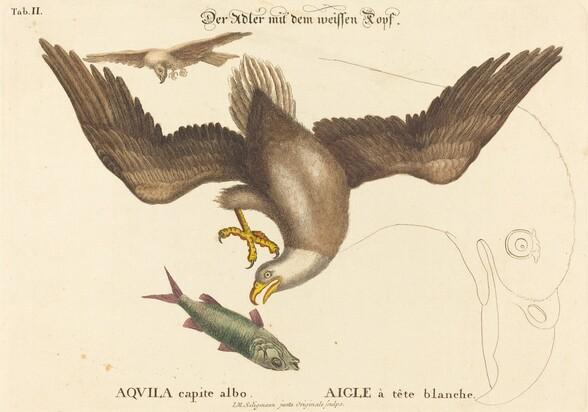 The Bald Eagle (Falco leucocephalus)