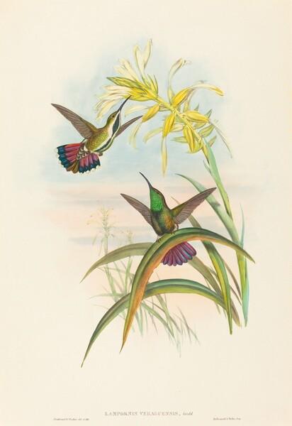 Lampornis veraguensis (Veraguan Mango)