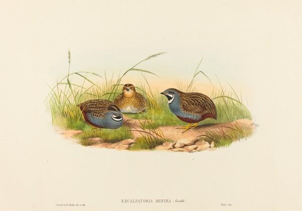 Excalftoria minima (Blue-breasted Quail)