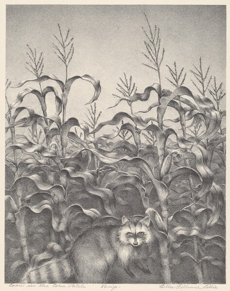 Coon in the Corn Patch