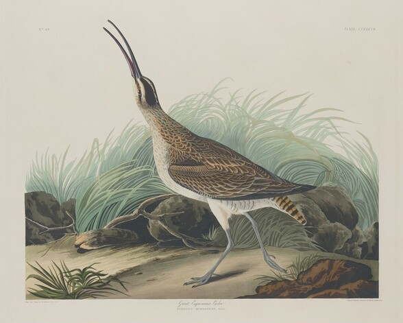 Great Esquimaux Curlew