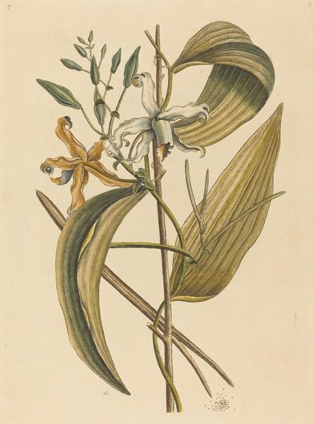 The Vanelloe (Epidendrum Vanilla)