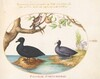 Plate 27: A Duck(?), A Coot, and a Rosefinch(?)