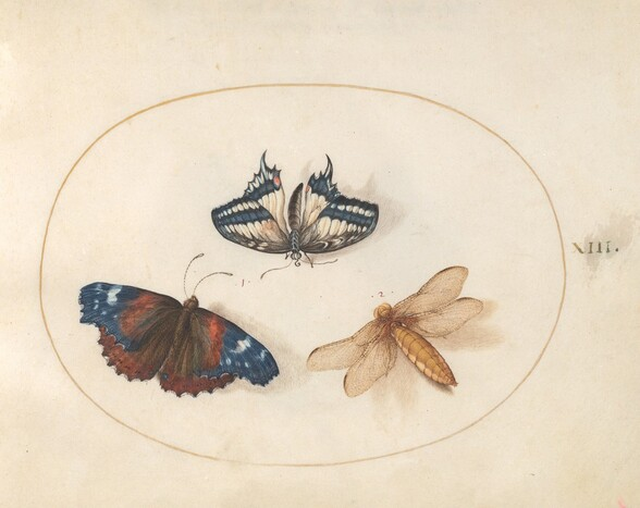 Plate 13: Yellow Swallowtail and Red Admiral Butterflies with a Dragonfly (Broad-Bodied Chaser?)