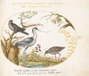 Plate 50: An Avocet with Two Other Birds