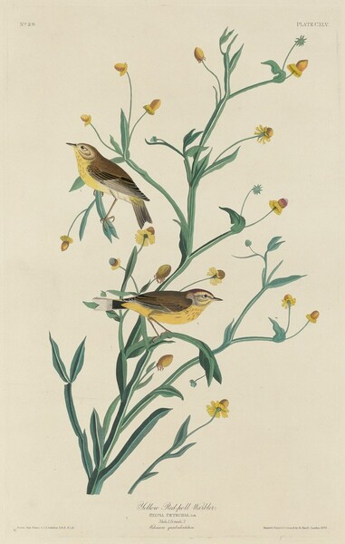 Yellow Red-Poll Warbler