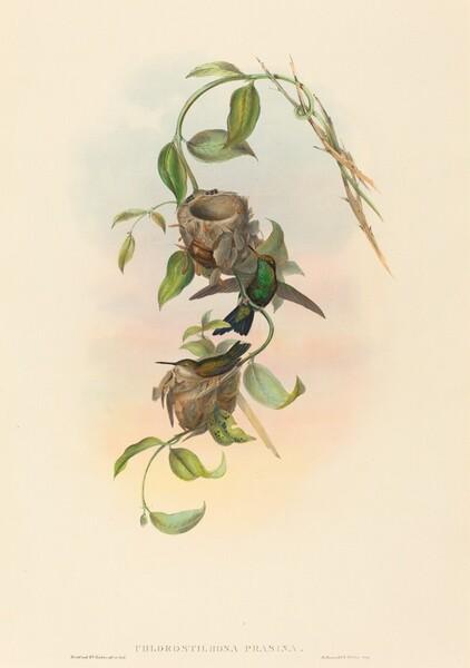 Chlorostilbona prasina (Puncheran