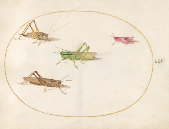 Plate 52: Four Grasshoppers