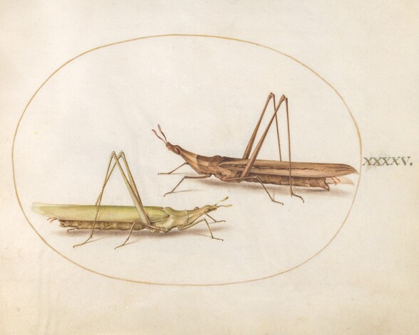 Plate 45: Two Long-Headed Grasshoppers(?)
