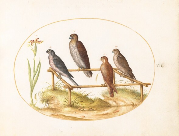 Plate 7: Four Birds of Prey on a Wooden Frame