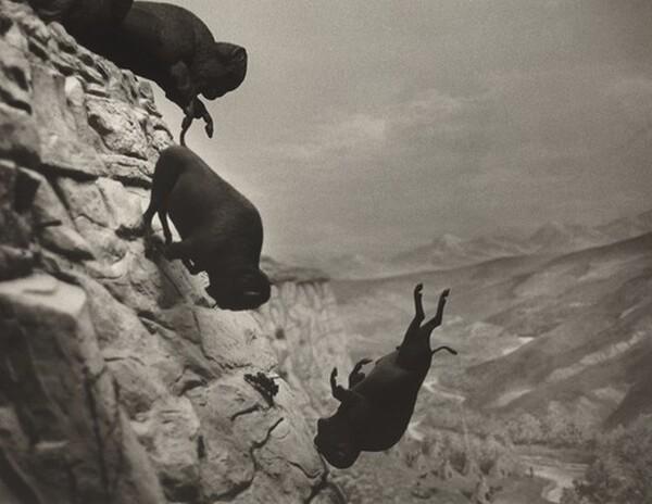 Untitled (Falling Buffalos)
