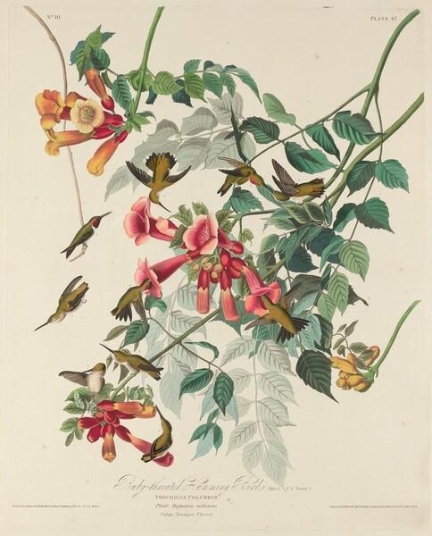 Ruby-throated Humming Bird