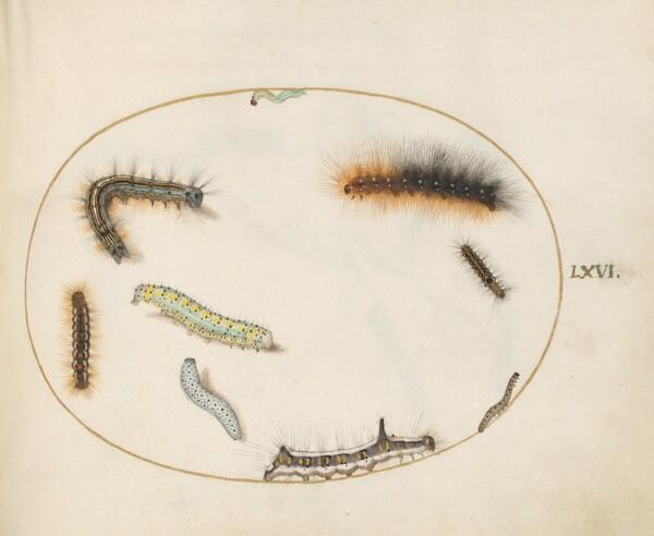 Plate 66: Lackey Moth Caterpillar, Figure of Eight Caterpillar, Grey Dagger Caterpillar, and Other Caterpillars