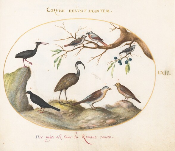 Plate 62: Northern Bald Ibis and Glossy Ibis with Other Birds