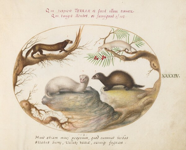 Plate 44: Polecat, Mink, and Ermine