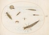 Plate 55: Aquatic Insects and Invertebrates, Including a Snail