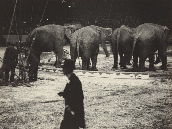 Elephants with Trainer, Circus, New York