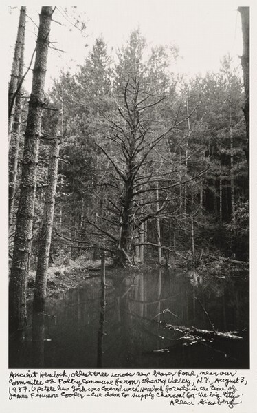 Ancient Hemlock, oldest tree across new beaver pond, near our committee on Poetry Commune farm, Cherry Valley, N.Y., August 3, 1987. Upstate New York was covered with Hemlock forests in the time of James Fenimore Cooper -- cut down to supply charcoal for the big city.