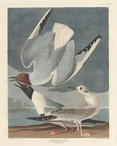 Bonapartian Gull