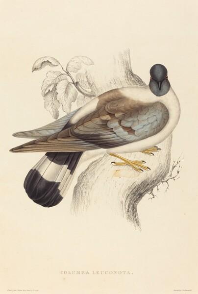 Columba Leuconota (Snow Pigeon)